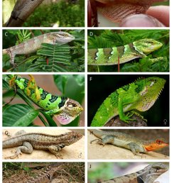 iguanid lizard species from the inter andean dryforest valleys a b download scientific diagram [ 850 x 1190 Pixel ]