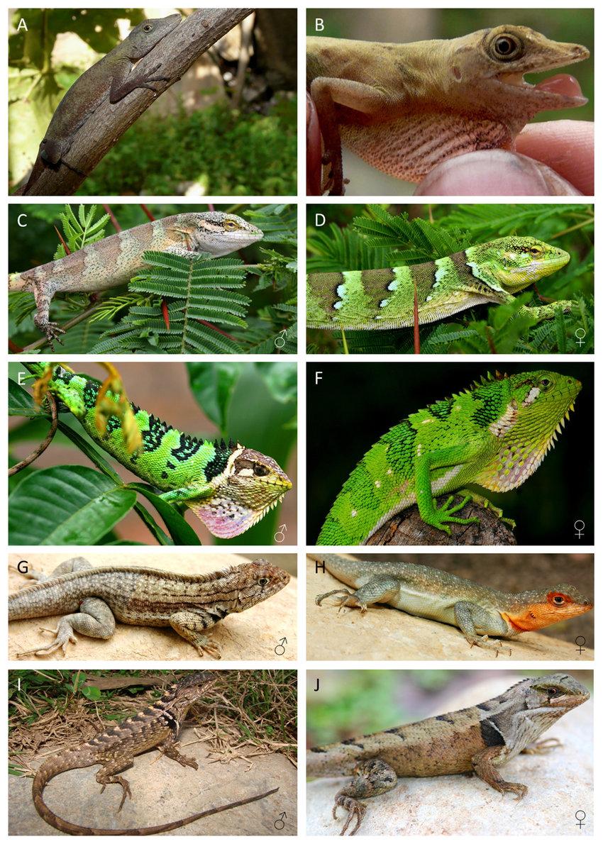 medium resolution of iguanid lizard species from the inter andean dryforest valleys a b download scientific diagram
