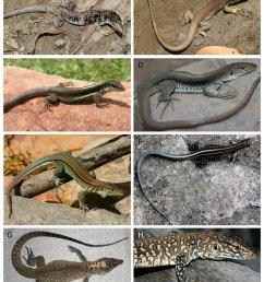 teid lizard species from the inter andean dryforest valleys a b download scientific diagram [ 850 x 1044 Pixel ]