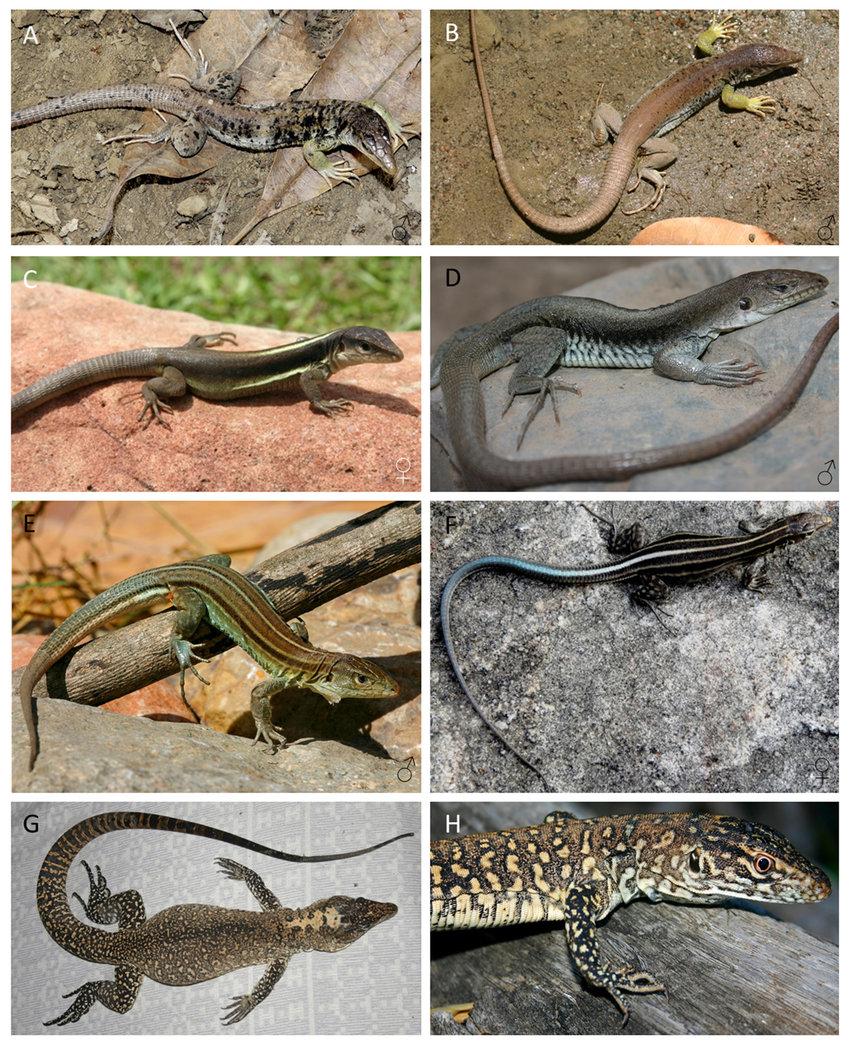 medium resolution of teid lizard species from the inter andean dryforest valleys a b download scientific diagram