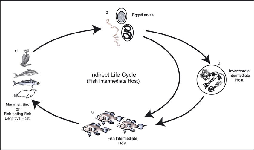 Indirect life cycle where the fish is an intermediate host