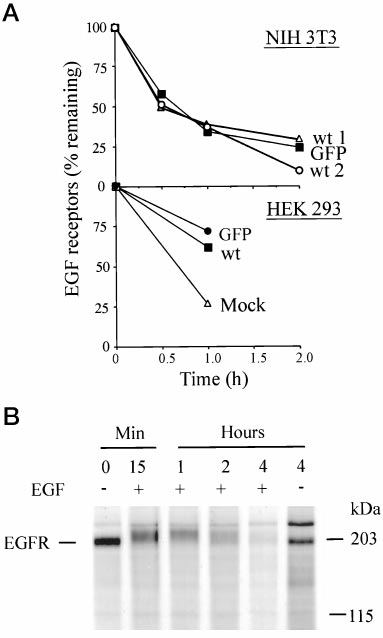 Down-regulation and degradation of EGFR. The time course