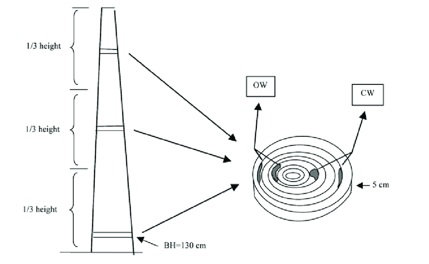 Disks at three height levels collected from each tree