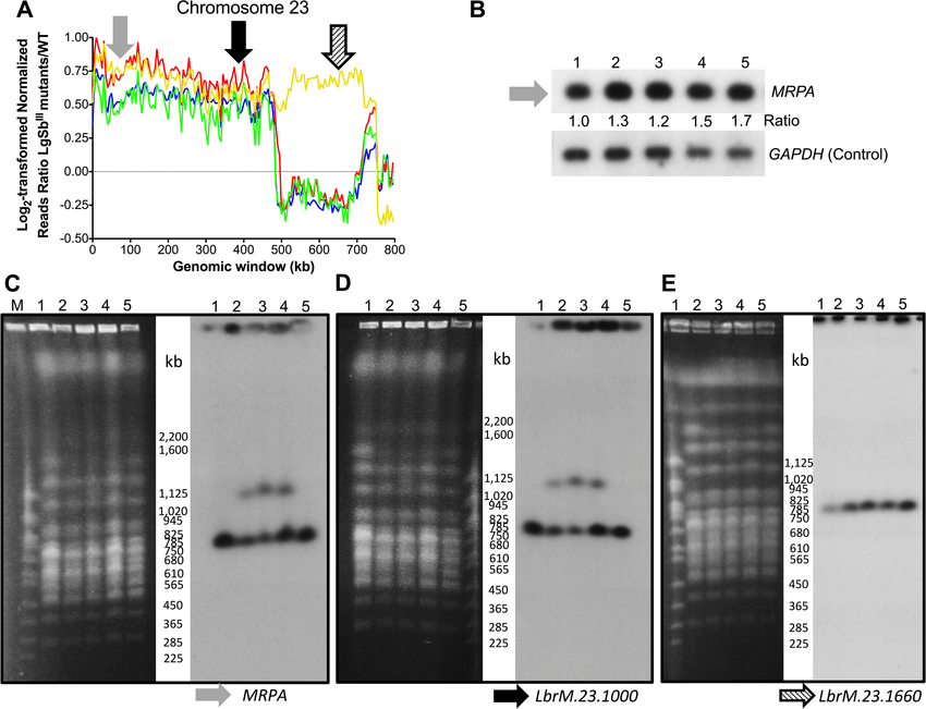 Chromosome 23 amplification in antimony resistant L ...