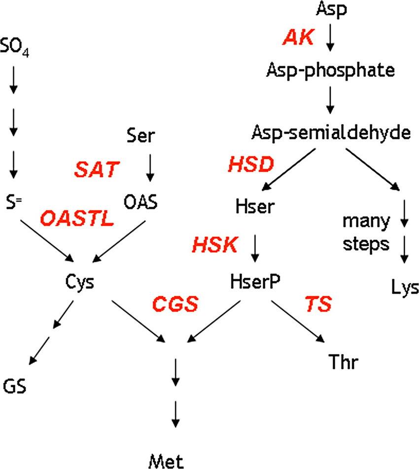 medium resolution of schematic pathway of sulphur amino acid biosynthesis sat serine acetyltransferase oastl oas