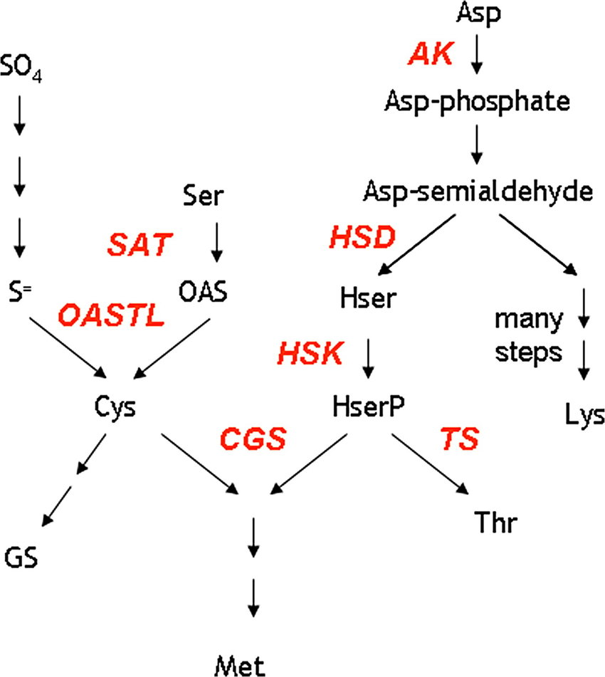 hight resolution of schematic pathway of sulphur amino acid biosynthesis sat serine acetyltransferase oastl oas