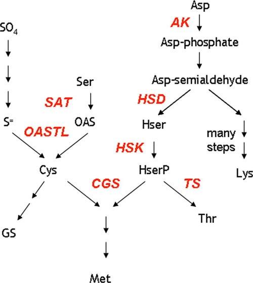small resolution of schematic pathway of sulphur amino acid biosynthesis sat serine acetyltransferase oastl oas