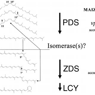 (PDF) Maize phytoene desaturase and ??-carotene desaturase