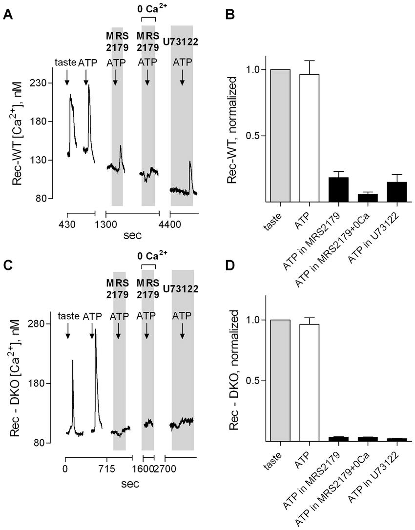 medium resolution of taste receptor type ii cells in wild type mice express autocrine p2x receptors a