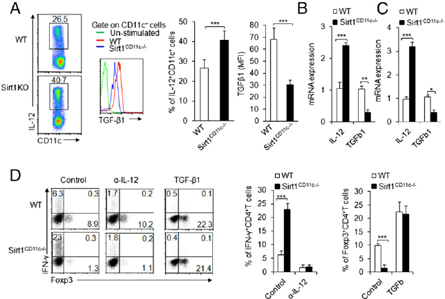 SIRT1-dependent IL-12 and TGF- β 1 production in DCs