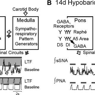 (PDF) Adaptation to hypobaric hypoxia involves GABA(A