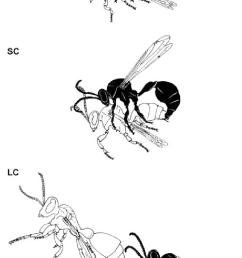schematic drawing of the behaviours involved in mating in r marginata mount mo short conjugation sc and long conjugation lc  [ 714 x 1293 Pixel ]