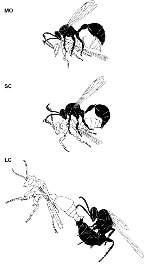small resolution of schematic drawing of the behaviours involved in mating in r marginata mount mo short conjugation sc and long conjugation lc