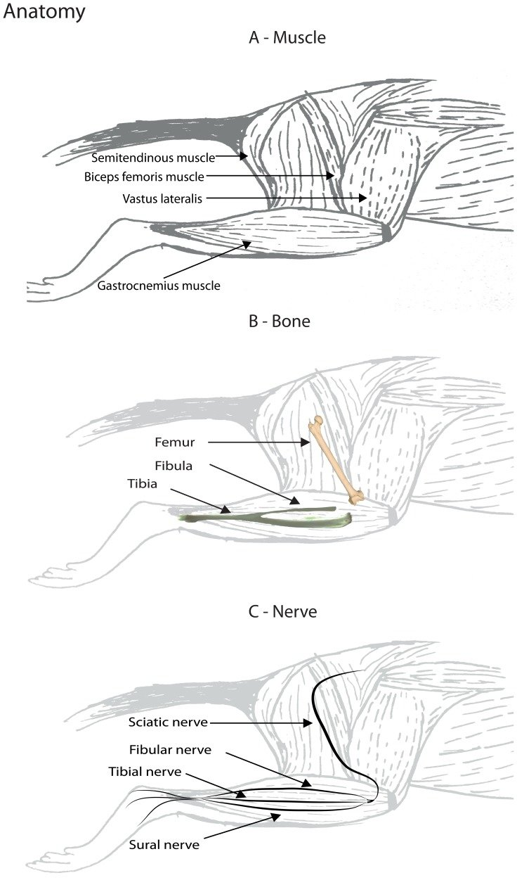 An overview of the anatomy of the rat hind limb. (A