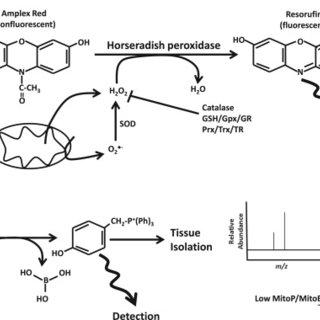 Krebs Cycle Diagram Glycolytic Pathway Diagram Wiring