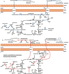 catabolic and anabolic reactions of the oxidative krebs cycle a download scientific diagram [ 850 x 946 Pixel ]