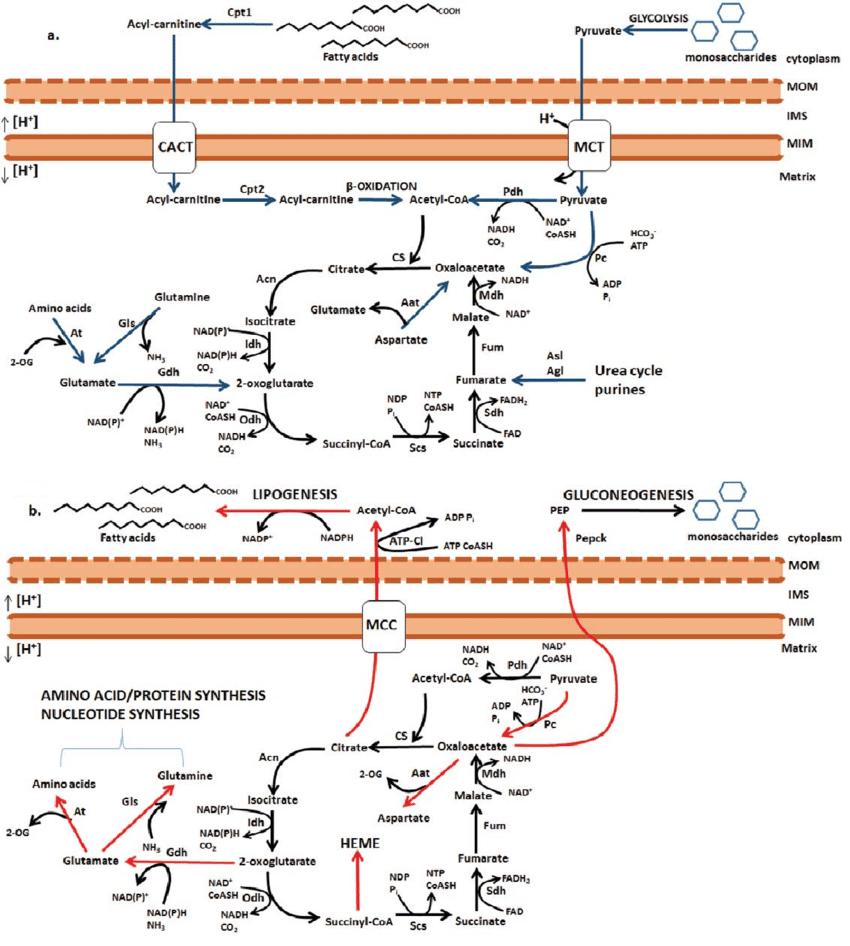 medium resolution of catabolic and anabolic reactions of the oxidative krebs cycle a download scientific diagram