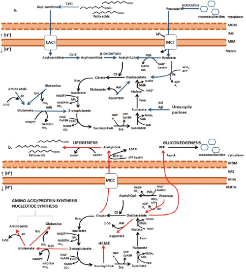 small resolution of catabolic and anabolic reactions of the oxidative krebs cycle a download scientific diagram
