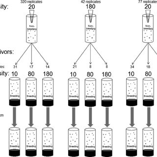 Schematic diagram of dispersal experiment. Breeding vials