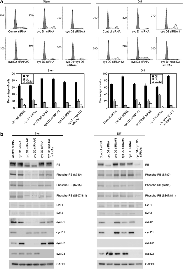 Important role of cyclin D2 in cell cycle progression of