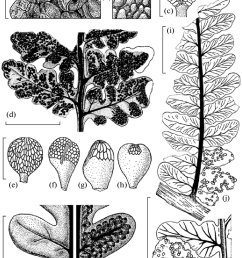 morphology of osmundacean ferns from the permian of the foreeurals a b spore structure preserved in situ c spoo rangia d fertile leaf with  [ 850 x 1159 Pixel ]