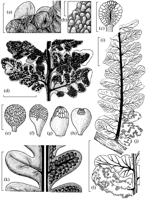 small resolution of morphology of osmundacean ferns from the permian of the foreeurals a b spore structure preserved in situ c spoo rangia d fertile leaf with
