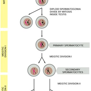 simple diagram of meiosis 5 pin to 11 mhl adapter kaufen saturn and mitosis normal cell division with one pair the stages spermatogenesis oogenesis adapted from alberts et al 1994