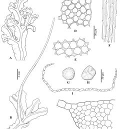 dendroceros subplanus steph a sterile thallus b thallus with sporophyte c [ 850 x 1062 Pixel ]