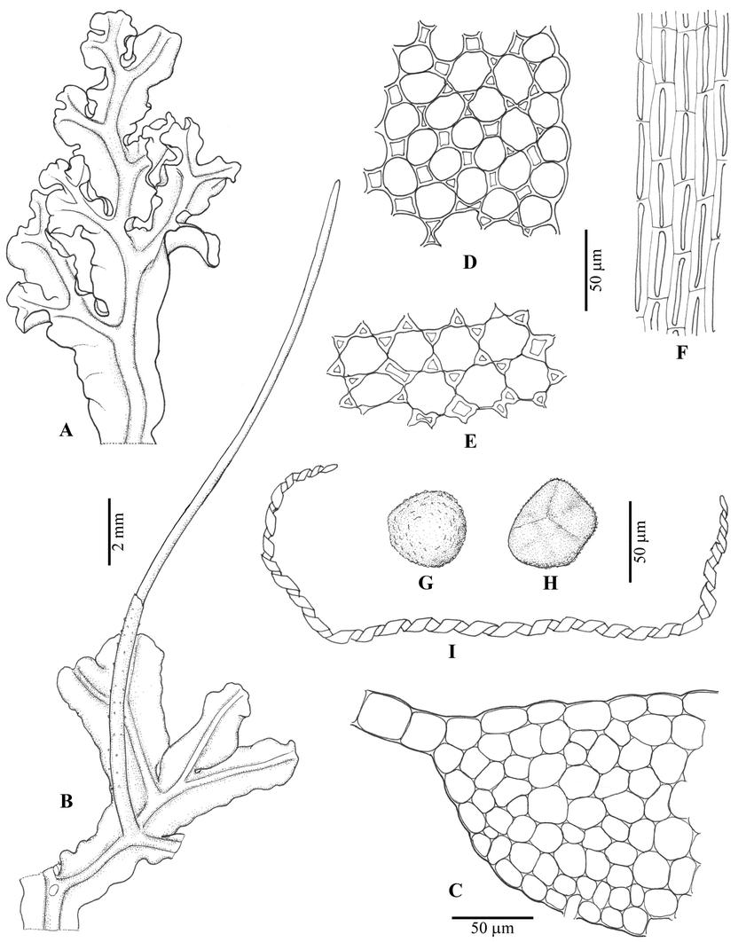 medium resolution of dendroceros subplanus steph a sterile thallus b thallus with sporophyte c
