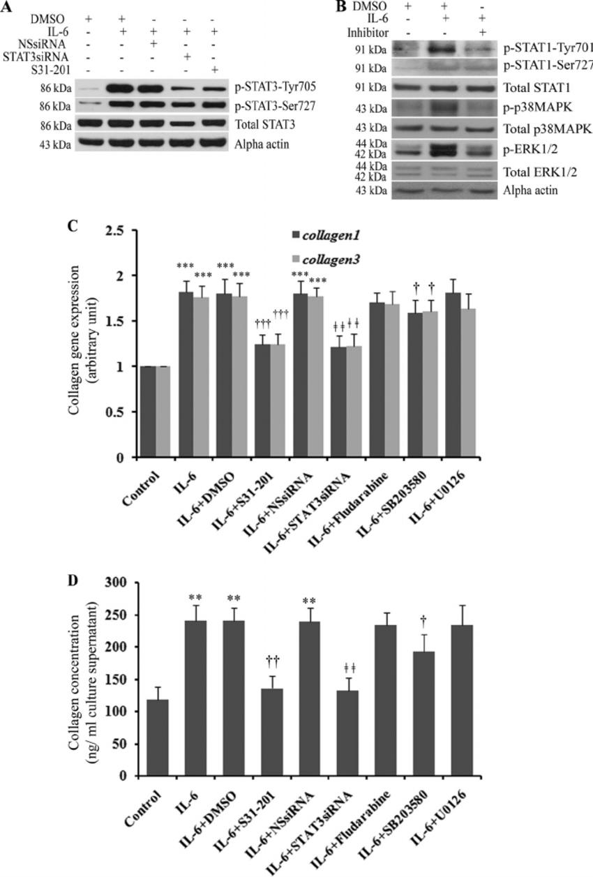 A , Western blotting results show phosphorylation of STAT3