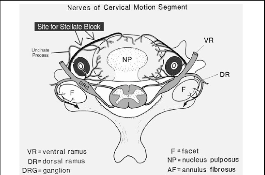 A schematic diagram (cross sectional view) of the cervical