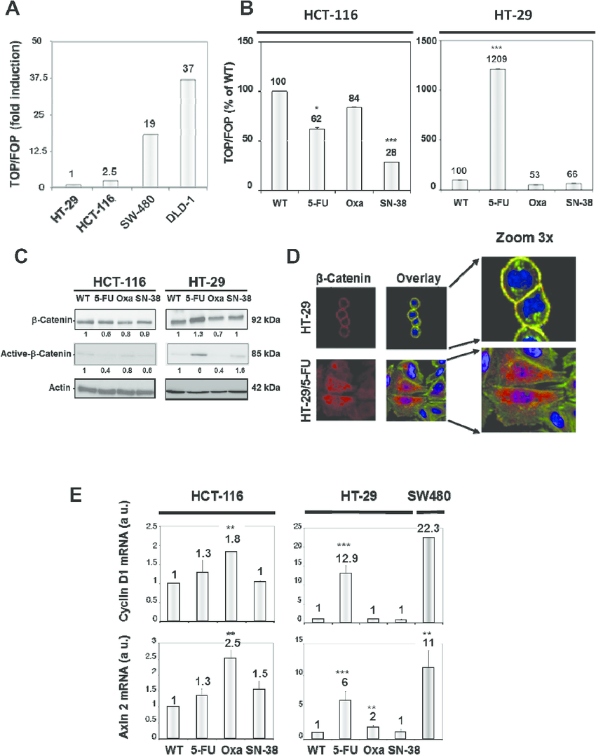 A. Comparison of WNT-signaling in HT-29 and HCT-116 cells