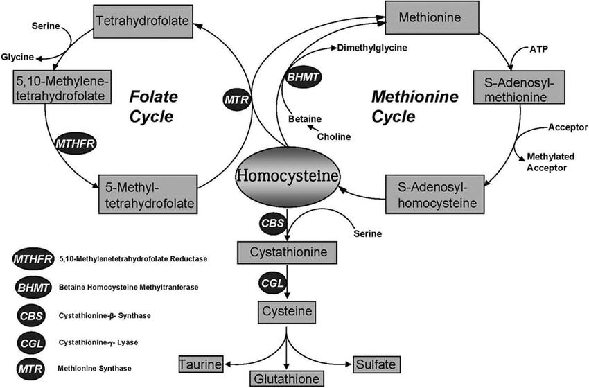 Methionine metabolism in mammals. The transsulfuration