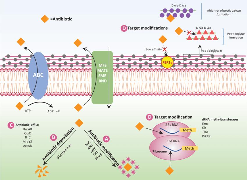 Schematic representation of different antibiotic ...