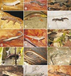 species of lizards from the araripe bioregion northeastern brazil a download scientific diagram [ 850 x 1078 Pixel ]