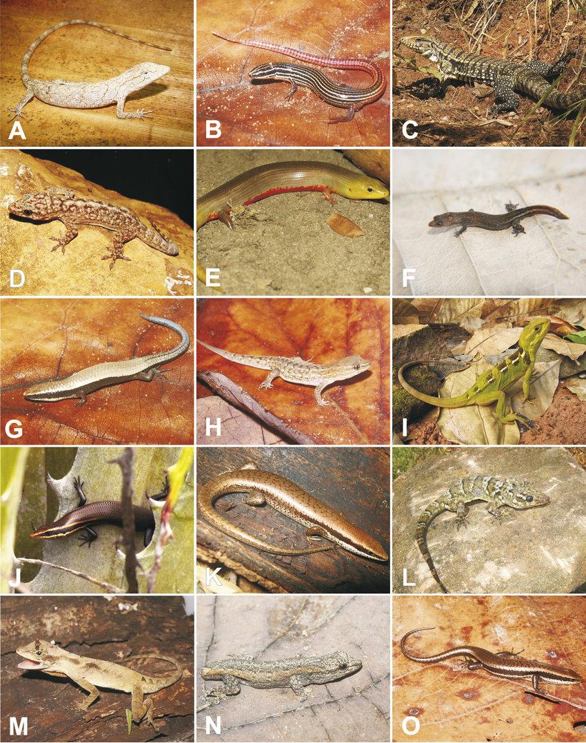 hight resolution of species of lizards from the araripe bioregion northeastern brazil a download scientific diagram