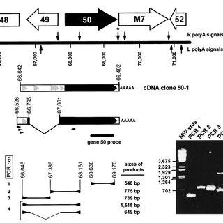 (PDF) Characterization of Gammaherpesvirus 68 Gene 50