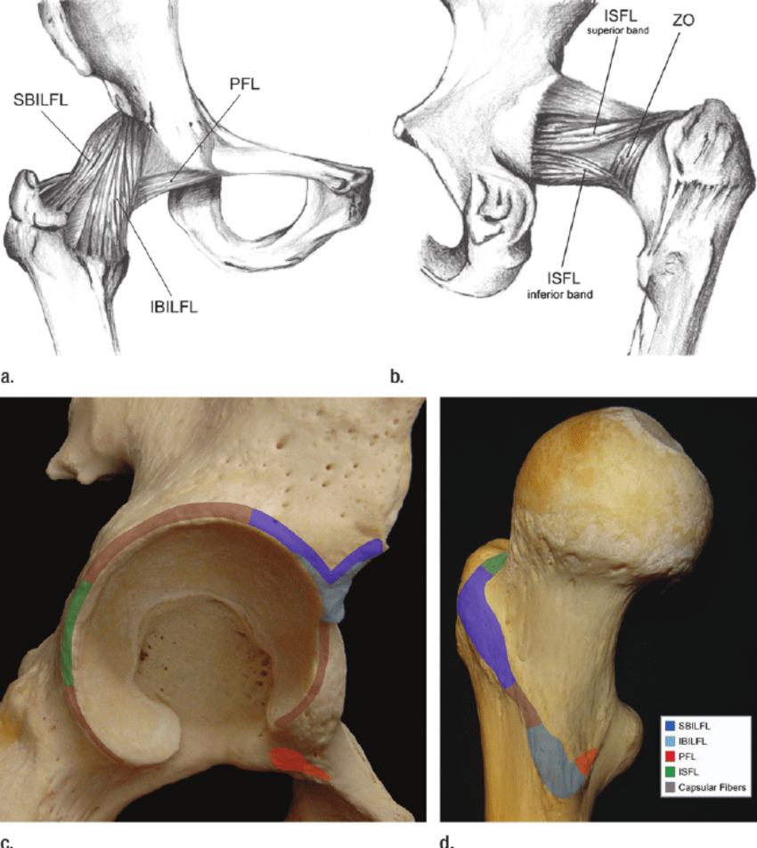 hight resolution of drawings show a anterior and b posterior views of the articular capsule