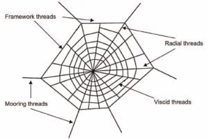Schematic diagram of a spider web | Download Scientific