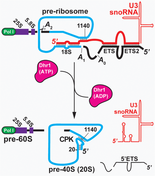 small resolution of the transition from the pre ribosome to the pre 40s u3 binds to the download scientific diagram