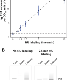 rna yield increases with labeling time a plot of total yield of rna recovered in [ 850 x 1411 Pixel ]