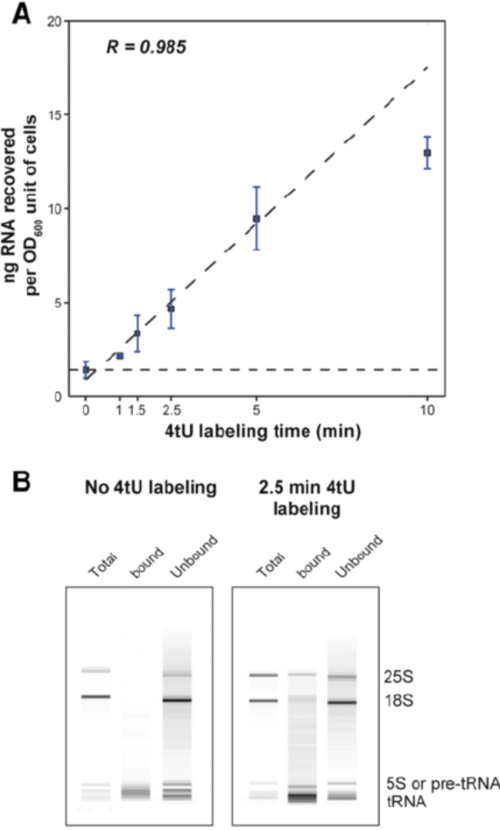 small resolution of rna yield increases with labeling time a plot of total yield of rna recovered in