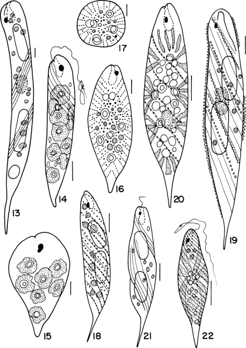 small resolution of euglena oxyuris schmarda var oxyuris 14 15 euglena polymorpha dang