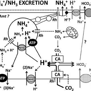 (PDF) Mechanisms of acid-base regulation in seawater