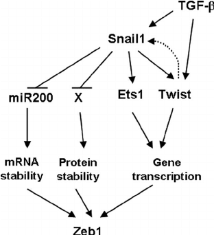 Scheme of the different regulation levels of Zeb1