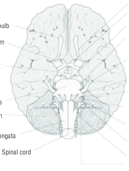 CRANIAL NERVES (VIEW FROM THE BOTTOM OF THE BRAIN) Note