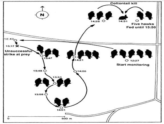 desert hawk diagram 2003 honda crv parts field study of the position harris s in while capturing cottontail rabbits