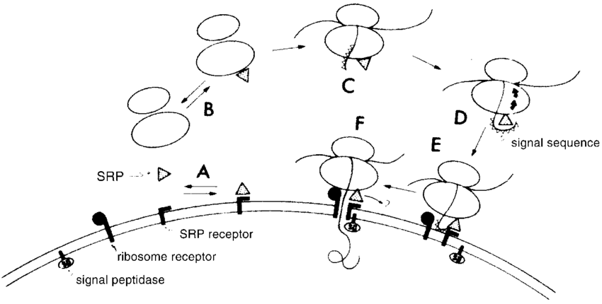 Model for the function of SRP in the translocation process