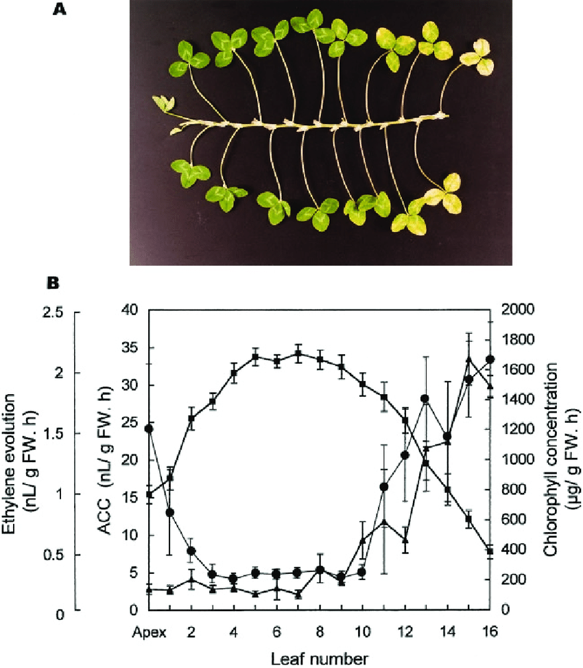 medium resolution of a stages of leaf development along a single stolon of white clover b download scientific diagram