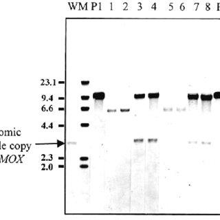 Expression of hirudin variant HV1 from H. polymorpha L4HV1